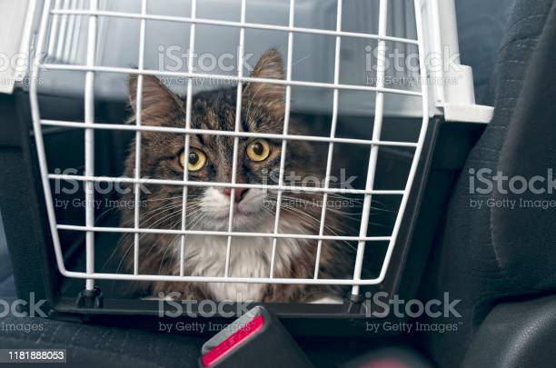 Tabby cat in a pet carrier stands on the passenger seat in a car picture id1181888053?b=1&k=6&m=1181888053&s=612x612&h=muvkrzhw7jkifyxo52latdrki wzzckcrtgl20bikwu=