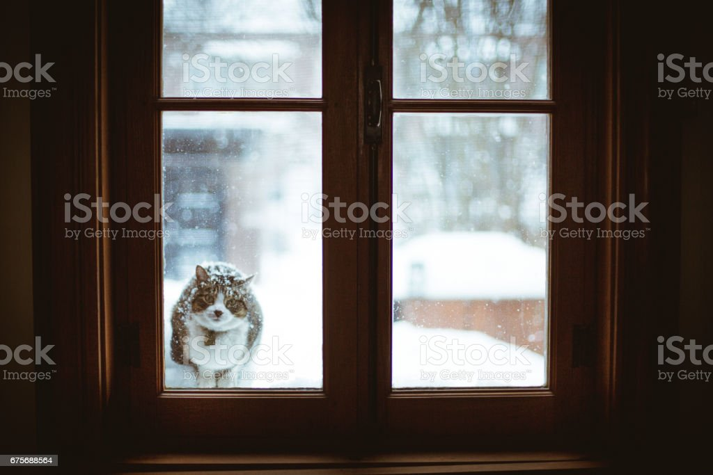 Tabby cat in a snow storm looking throw a wondow stock photo