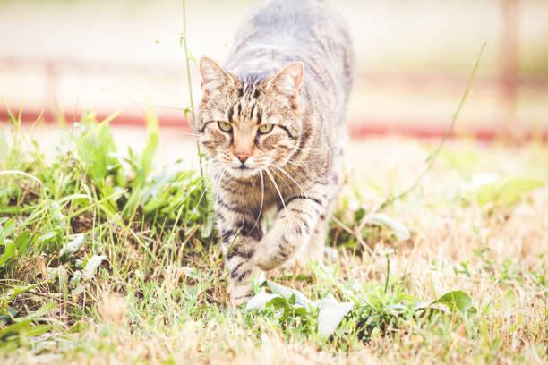 Tabby cat in the autumn grass picture id1175005346?b=1&k=6&m=1175005346&s=612x612&w=0&h=ovwnd4d9ejg5e480h3xpkj yx33xbeoa0ngehclavzo=