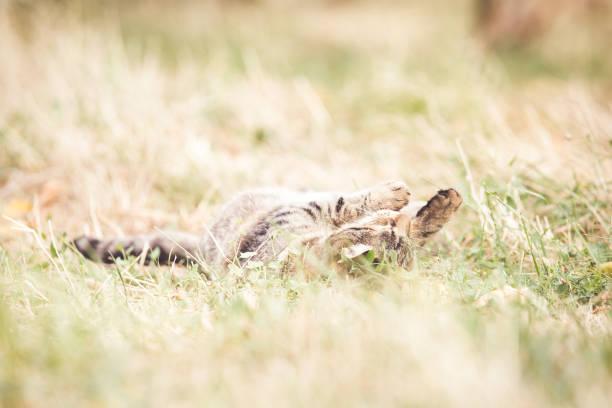 Tabby cat in the autumn grass picture id1175005362?b=1&k=6&m=1175005362&s=612x612&w=0&h=wlyixlokb1 gccfeq0t0qwrk2sq2vu28gdoob8gnugq=