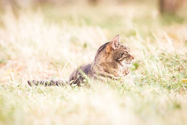 Tabby cat in the autumn grass picture id1175005386?b=1&k=6&m=1175005386&s=612x612&w=0&h=vv6whohtaunvyuftu41gyubldt4mqa1jezx7le0llta=