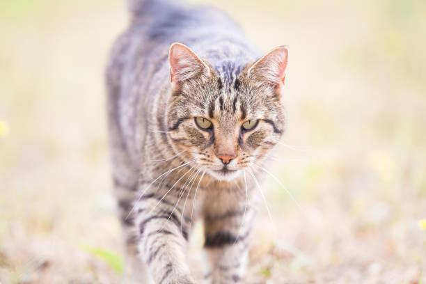 Tabby cat in the autumn grass picture id1175005390?b=1&k=6&m=1175005390&s=612x612&w=0&h=xsy 3nwgnzmjx 9vscfich14vi1xnep545i kug x7i=