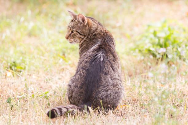 Tabby cat in the autumn grass picture id1175005401?b=1&k=6&m=1175005401&s=612x612&w=0&h=c4ymg9iaeuukoamlkbjmavdylqxzlricpk1vy4ql6pk=