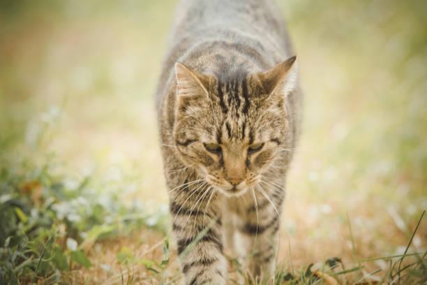 Tabby cat in the autumn grass picture id1175005708?b=1&k=6&m=1175005708&s=612x612&w=0&h=y6pn9py0ttva oi8tljkckmksshnh5t4xsyus3f0ybi=