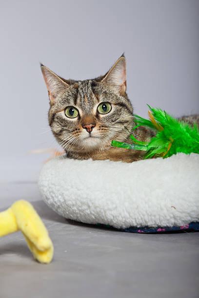 Tabby cat in white basket with toys picture id459093219?b=1&k=6&m=459093219&s=612x612&w=0&h=yuwrjrvlk8wsfvh69j2ghbbukildgh5zrghcu3dz1jq=
