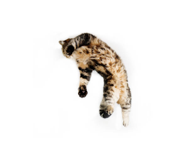 Tabby cat isolated on white background in jump picture id826516150?b=1&k=6&m=826516150&s=612x612&w=0&h=d6qa59usdkfayeyx1eby5b  ypboczwqtkpfzchyvvg=