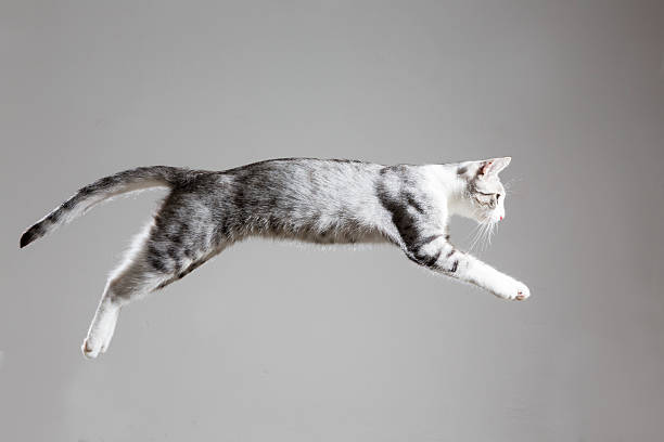Tabby cat jumping picture id502893561?b=1&k=6&m=502893561&s=612x612&w=0&h=7ijlzz4ckhfxgxnd 5krdypp dceg1pyr9of2v xs44=