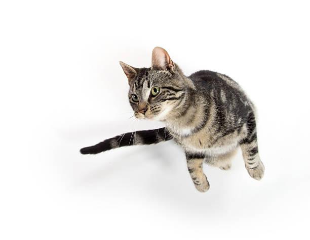 Tabby cat jumping picture id520594756?b=1&k=6&m=520594756&s=612x612&w=0&h=jn4dnm3gn4jluqzshzqh5zk q3z52cvi6nkyqxpqkty=