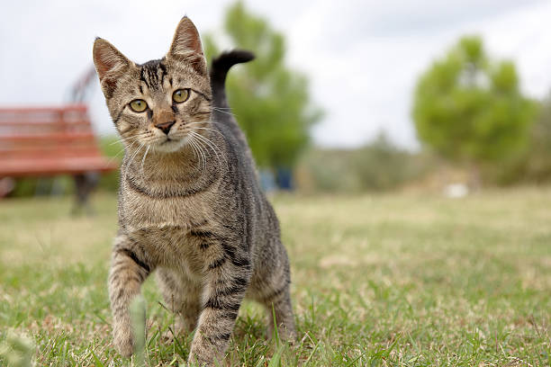 Tabby cat kitten looking at camera stock photo