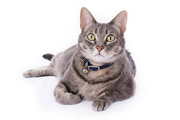 Tabby cat laying down and looking at camera isolated stock photo