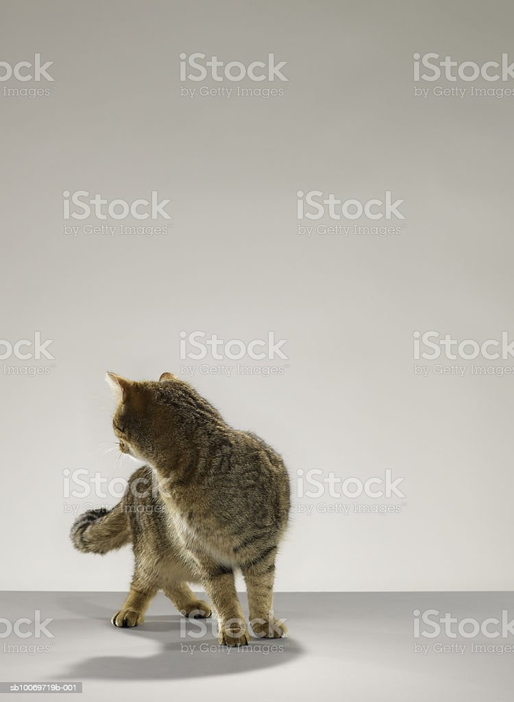 Tabby cat looking behind royalty free stockfoto