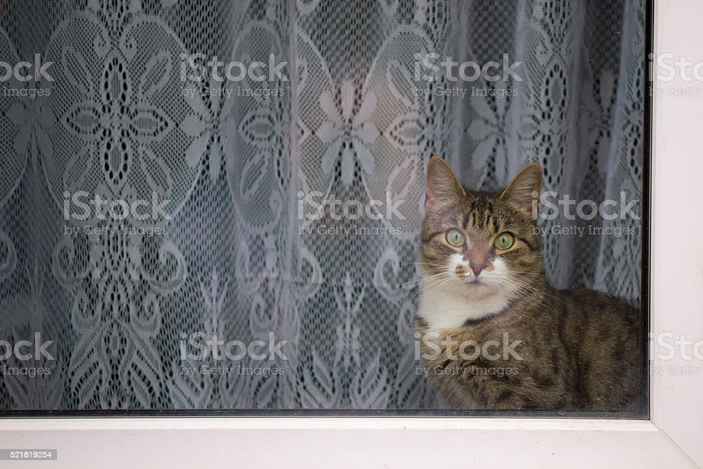 Tabby cat looking out the window stock photo
