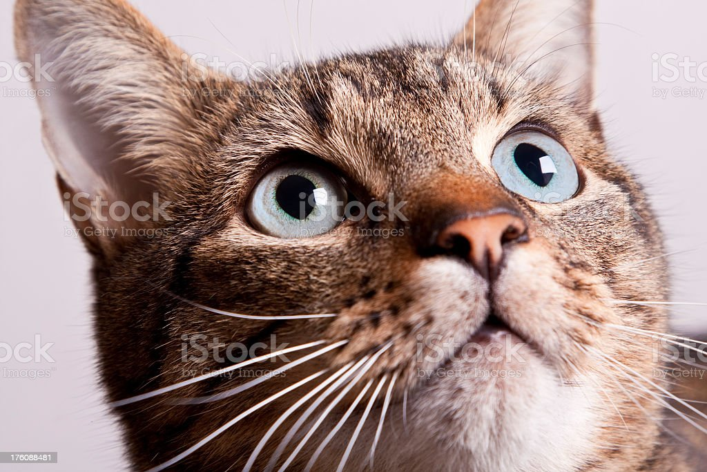 Tabby Cat Looking Up royalty-free stock photo