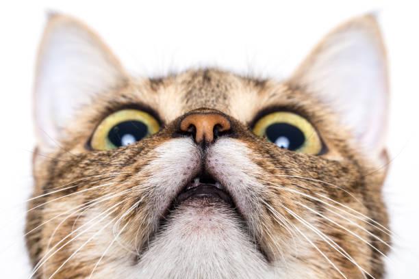 Tabby cat looking up picture id907974700?b=1&k=6&m=907974700&s=612x612&w=0&h=emb4pvvfzqlmupcweavk8fx9lhze8ow4dgso7wvpq1y=