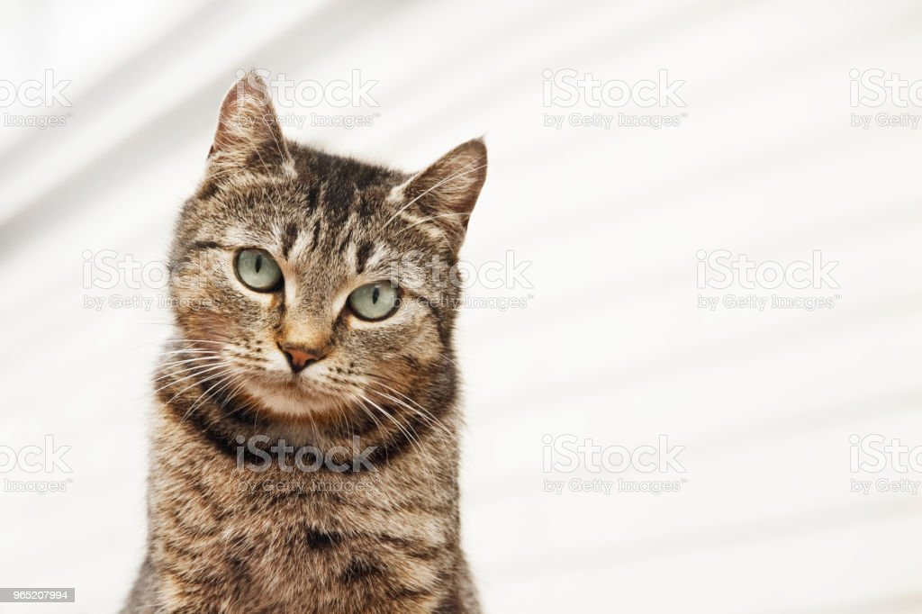 Tabby cat looks out of the frame closeup on white background zbiór zdjęć royalty-free