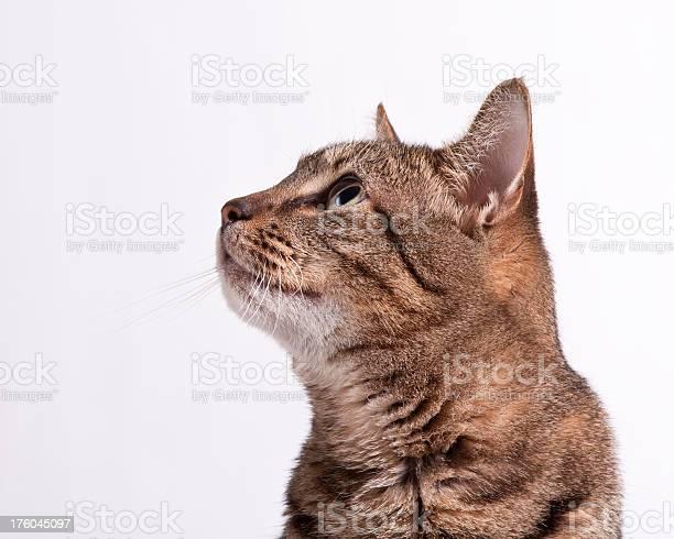 Tabby cat looks up picture id176045097?b=1&k=6&m=176045097&s=612x612&h=33kycplud1f4ldwauy5qnee4d0i ftywoeaogxcrlik=