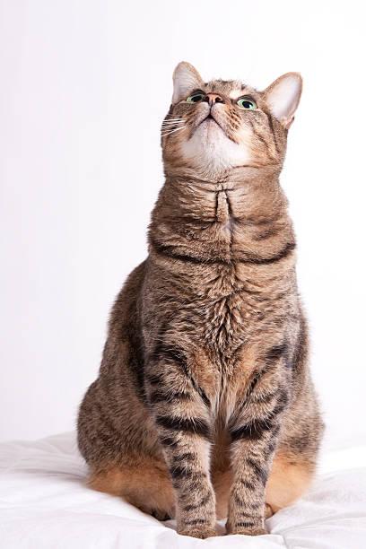 Tabby cat looks up picture id176091275?b=1&k=6&m=176091275&s=612x612&w=0&h=q6zb3mswr85ftwegxscxmuc colz1mcbu55hmoetl88=