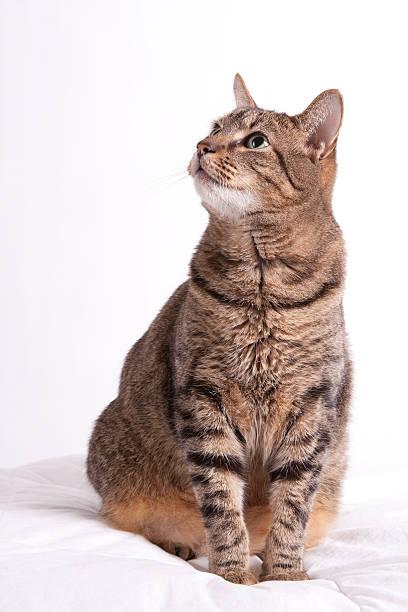 Tabby cat looks up stock photo