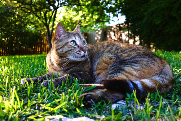 A tabby cat lounges in the backyard enjoying the flora and fauna. stock photo