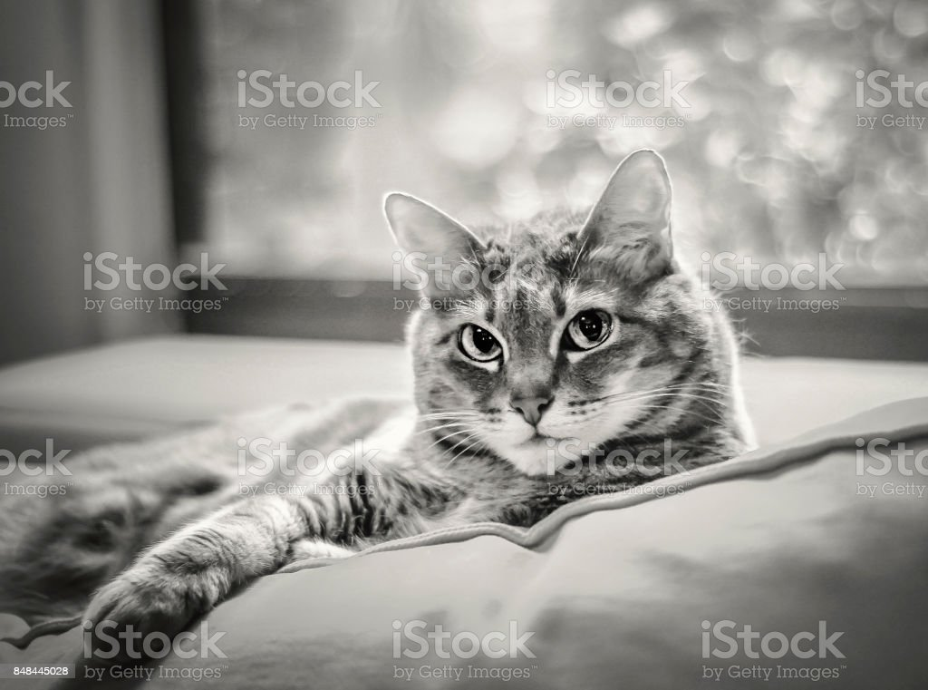 Tabby Cat Lounging in front of a Window stock photo