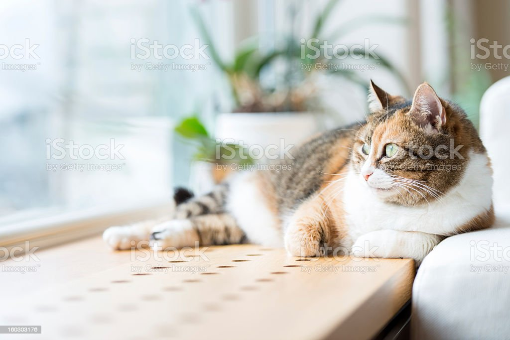 Tabby cat lying by the window relaxing stock photo