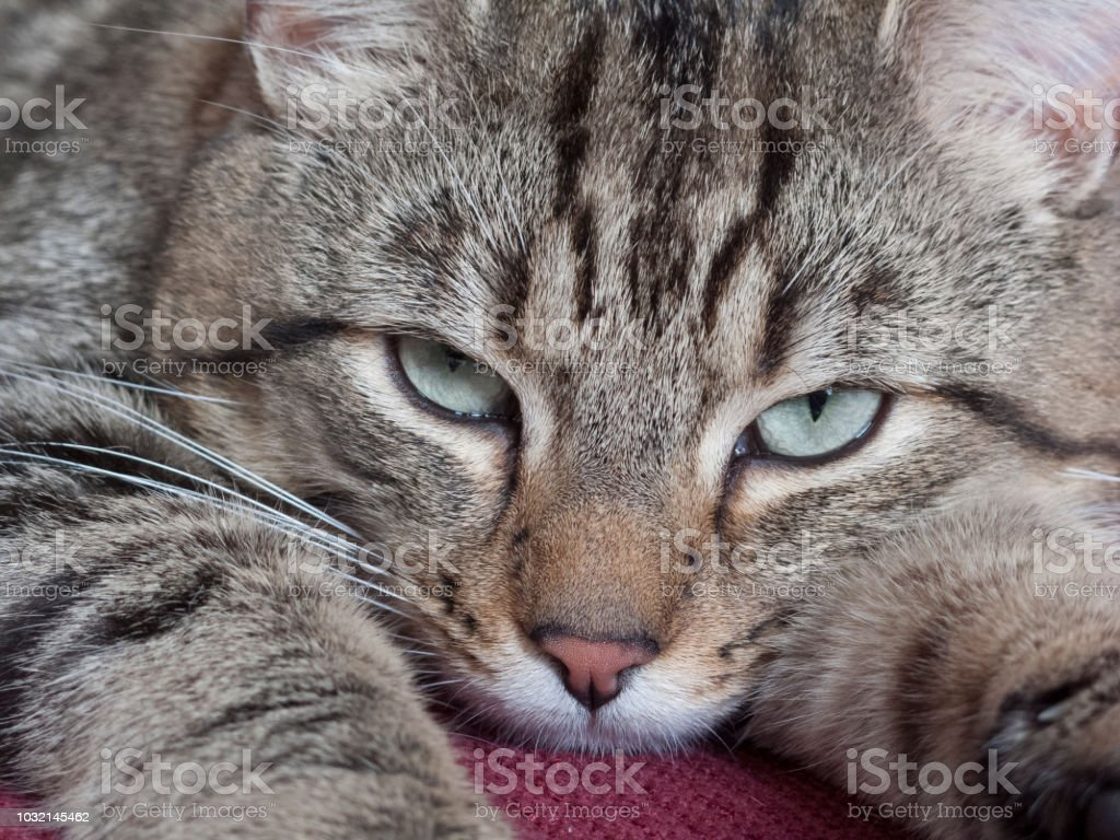 Tabby cat lying down on a sofa stock photo