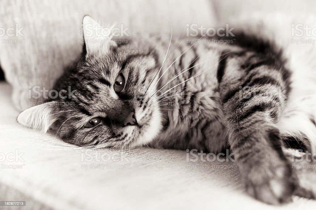 tabby cat lying on a sofa royalty-free stock photo