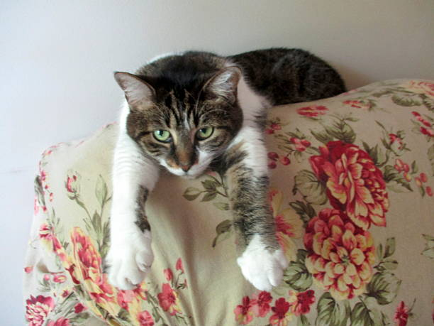 Tabby Cat, Lying on Back of Sofa with Arms Extended stock photo