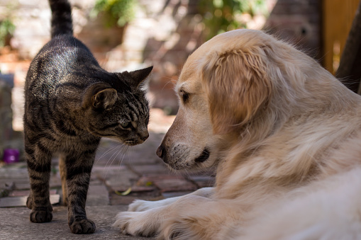 istock Tabby Cat Meets Golden Retriever 1061844744