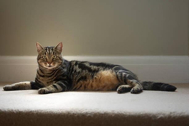 Tabby cat on carpet picture id157374708?b=1&k=6&m=157374708&s=612x612&w=0&h=dmwmz0csqd ieyg21wlxwrpfyvk9i5fhmz83kvd o48=