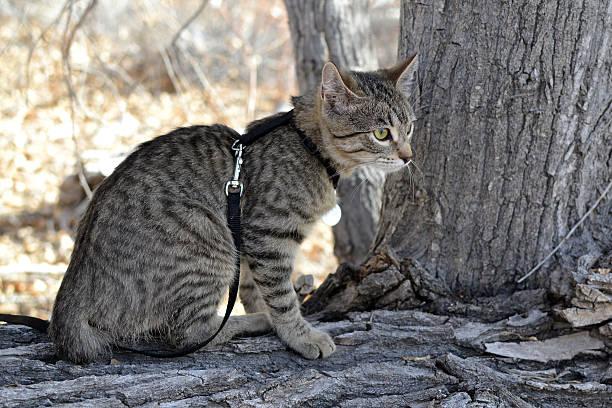 Tabby cat on leash picture id476766449?b=1&k=6&m=476766449&s=612x612&w=0&h=59nrg2awlxeitzrs5tgfihbchaz7hi9buchdw 7jfki=