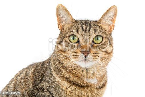 Tabby cat looking at camera.