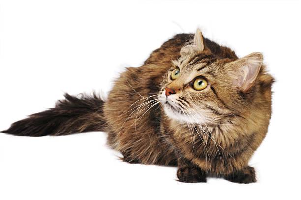 Tabby cat picture id153772917?b=1&k=6&m=153772917&s=612x612&w=0&h=y9z0yn1iunepnoveqrf lyj9guxczt1ohueqxzfrvyi=
