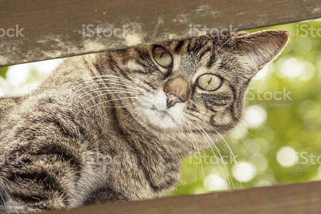 Tabby Cat royalty-free stock photo