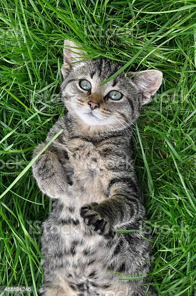 Tabby cat picture id488894245?b=1&k=6&m=488894245&s=612x612&h=atjfrzugkh9waunppazukmuq6pdftjhetgbwmoeylbw=