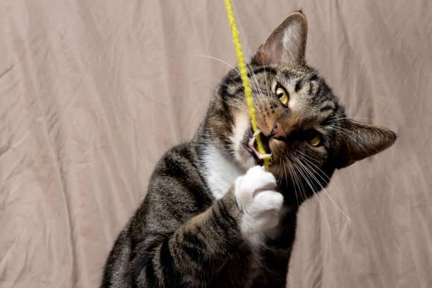 Tabby cat picture id873094572?b=1&k=6&m=873094572&s=612x612&w=0&h=sjfnsmuctv4bfkmnbtuucbjxshnx qwe0tvg1rspdm4=