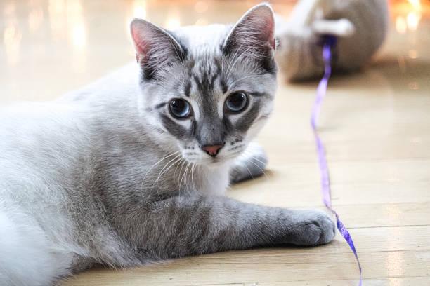 Tabby cat plays with a toy on a string picture id1063019570?b=1&k=6&m=1063019570&s=612x612&w=0&h=qbggijnfn7jvqb6s7zppzifvtrmotyrhdxv9xtnf0lq=