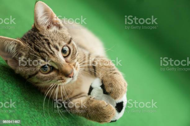 Tabby cat plays with soccer ball green background picture id985941462?b=1&k=6&m=985941462&s=612x612&h=zzkczbthmwioxn2ijaxw4uutpkkpjcarbw8kk8laegi=