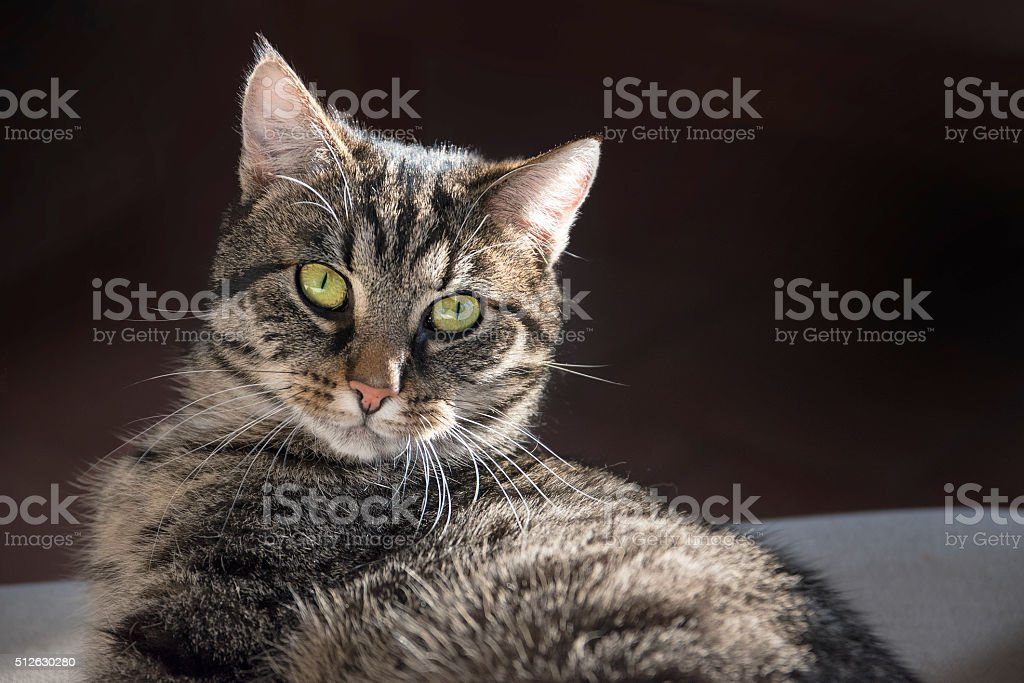 tabby cat portrait looking at the camera, dark background stock photo