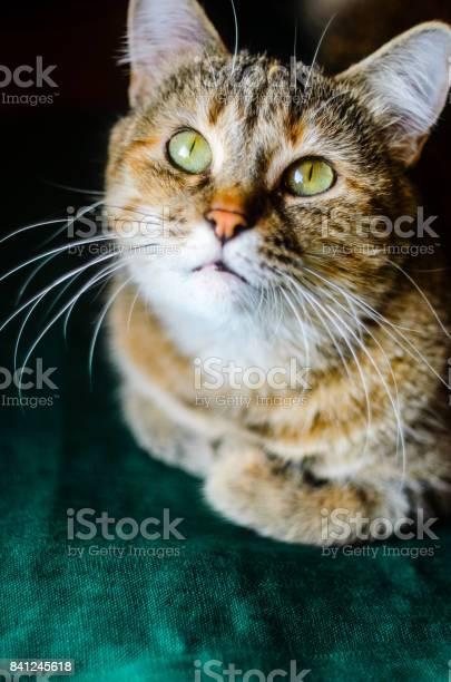 Tabby cat portrait picture id841245618?b=1&k=6&m=841245618&s=612x612&h=vd 88ykpfede9yx mq4xyps4daenjsbb12t2od92asy=