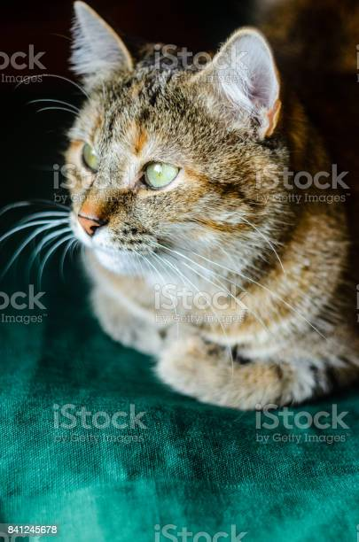 Tabby cat portrait picture id841245678?b=1&k=6&m=841245678&s=612x612&h=ilazih2d186zkflnmlj73czbwehglijypuhms7ia0vc=