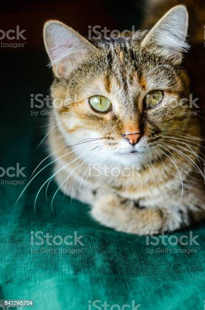Tabby cat portrait picture id841245704?b=1&k=6&m=841245704&s=612x612&h=dcanxgi5vyrfzpjqrto7wqvj3ddiw0gdhhhvfyb5ky0=