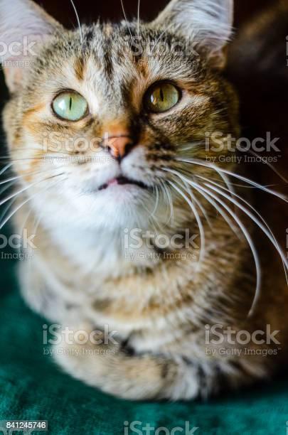 Tabby cat portrait picture id841245746?b=1&k=6&m=841245746&s=612x612&h= jriyorxgn vsujza8w1mo8u5q3jjlozysyrhpmc1sa=