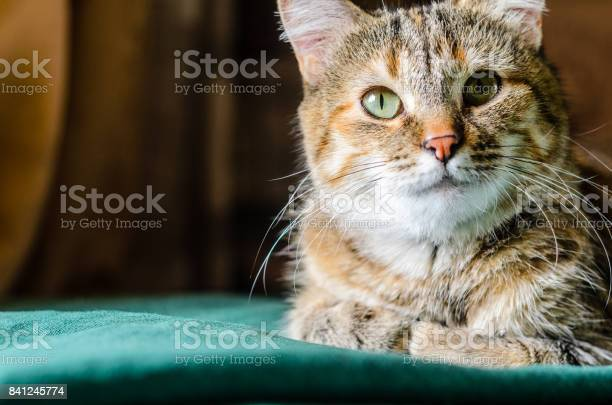 Tabby cat portrait picture id841245774?b=1&k=6&m=841245774&s=612x612&h=d4xwuhqik2hnhv4jrwfifl3hyzjl6rbz2ic9hib05sc=