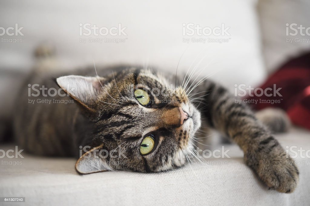 tabby cat relaxed on the sofa looks at the camera stock photo