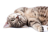 Tabby cat lying on back and looking at camera