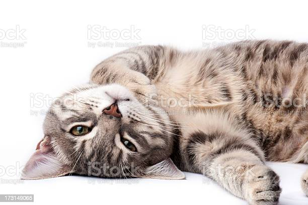 Tabby cat relaxing picture id173149065?b=1&k=6&m=173149065&s=612x612&h=kwlc5g8m8r hp5qdmmpszl2qkt bsip6g6py3fsgusc=