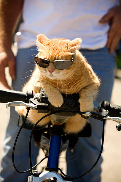Tabby cat riding a bicycle with sunglasses picture id182158909?b=1&k=6&m=182158909&s=612x612&w=0&h=sikjz x8tpsw80ryeajrztfdh8lee8tcux1u962ms2q=