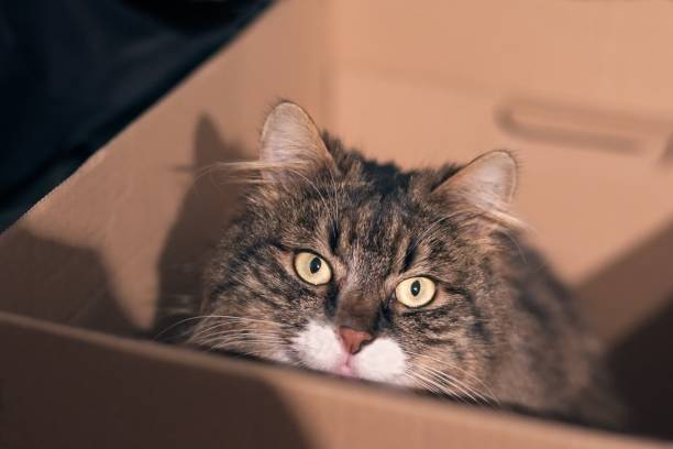 Tabby cat sit in a card box and look at the camera picture id934304106?b=1&k=6&m=934304106&s=612x612&w=0&h=wrfgtqjpia97zvtbilwke mnvxirzn5uee7wwnrfjd8=
