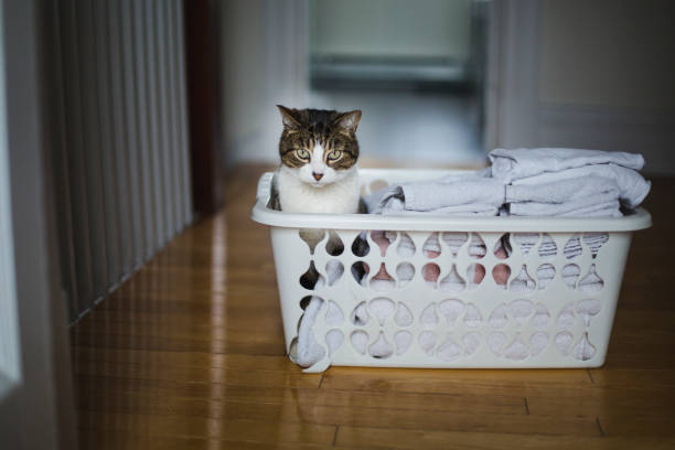Tabby cat sitting in a laundry basket domestic cat, pets, laundry basket, home interior laundry basket stock pictures, royalty-free photos & images